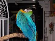 Jдома,  поднятые и зарегистрирован синих и золотых попугаи ара для прод