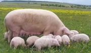 Свинокомплекс продает поросят